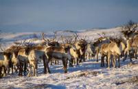 Samisk reindrift fra uminnelige tider